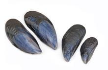 Blue Mussel Shell