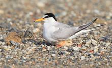 Little Tern (Sterna Albifrons)...