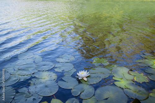 Foto  Water lilies