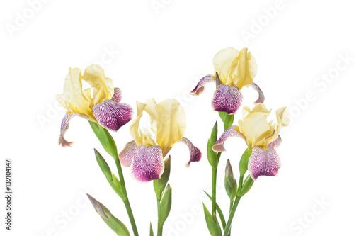 Garden Poster Iris Yellow iris flowers, floral wallpaper