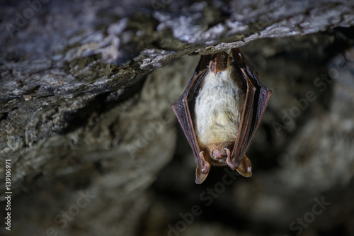 Greater mouse-eared bat (Myotis myotis) Wallpaper Mural