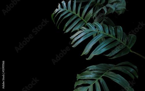 Zieleni liście Monstera zasadzają dorośnięcie w dzikim tropikalna lasowa roślina, wiecznozielony winograd na czarnym tle.