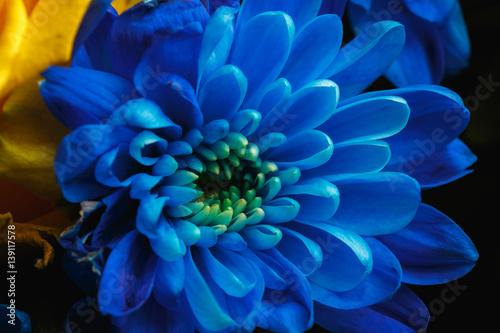 Poster de jardin Dahlia Blue chrysanthemum as background. The blue chrysanthemum flower, close up, macro. Blue flower close up. beautiful bouquet with chrysanthemum, background.