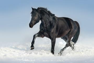 Beautiful black stallion run in snow field