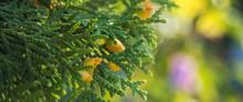 Green Thuja Tree Branches Clos...