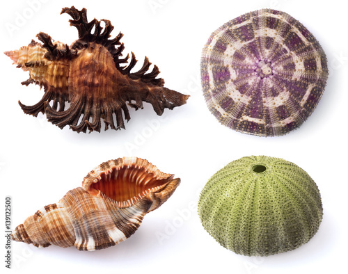 Stampe  Sea urchins and shells on white background.