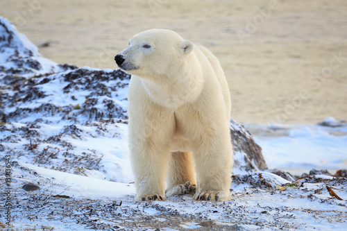 Spoed Foto op Canvas Ijsbeer Polar bear standing on tundra looking aside