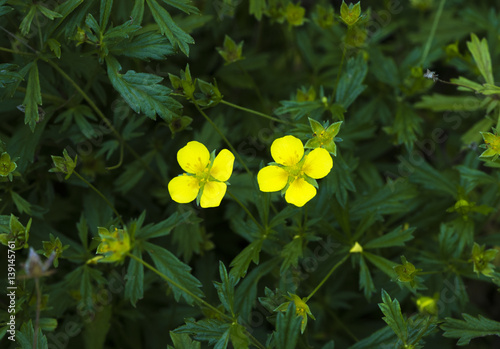 Common Tormentil or Septfoil (Potentilla erecta), hesse, germany, europe Fototapeta