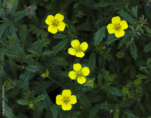 Fotografija  Common Tormentil or Septfoil (Potentilla erecta), hesse, germany, europe