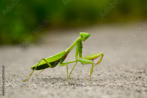 Fotografie, Obraz  Praying mantis macro