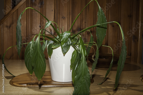 Cuadros en Lienzo Dehydrated house plant with drooping leaves