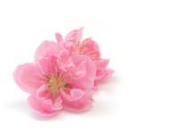 Japanese Peach Blossom On White