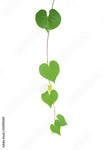 Heart shaped greenery leaves tropical wild vine with tiny white heart shaped greenery leaves tropical wild vine with tiny white flower isolated on white background mightylinksfo
