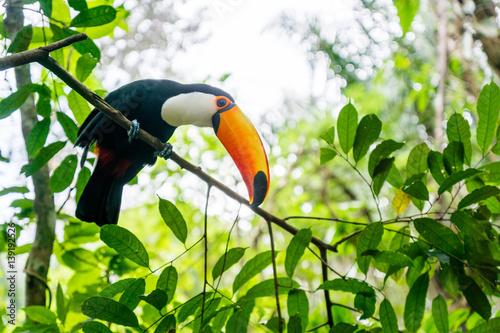 Deurstickers Toekan prächtiger Tukan im Bolivianischen Amazonas-Regenwald