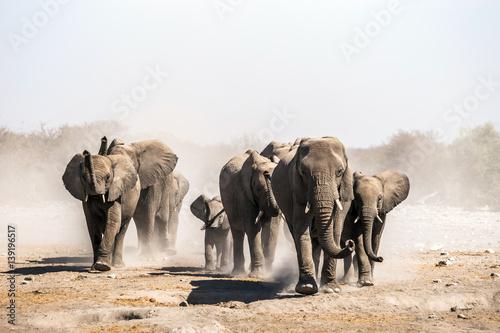 Fototapeta  A herd of elephants approaches a waterhole in Etosha national park