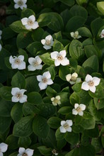 Cornus Canadenssis Blüten
