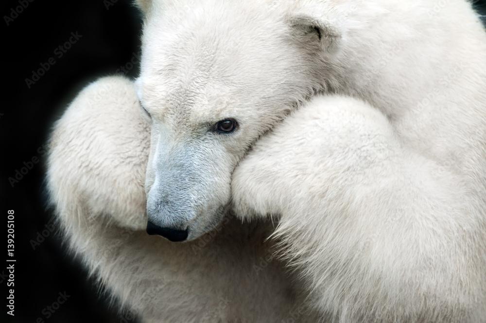 White bear portrait close up isolated on black background