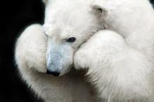White Bear Portrait Close Up I...