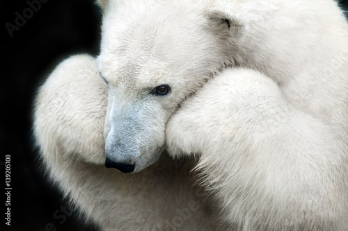 Poster Ijsbeer White bear portrait close up isolated on black background
