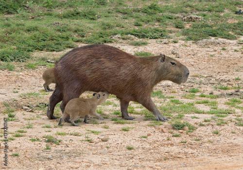 Capybara and her kid in the El Cedral - Los Llanos, Venezuela, South America