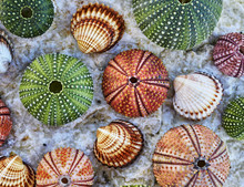 Colorful Sea Urchins And Seashells On White Wet Rock Beach Closeup