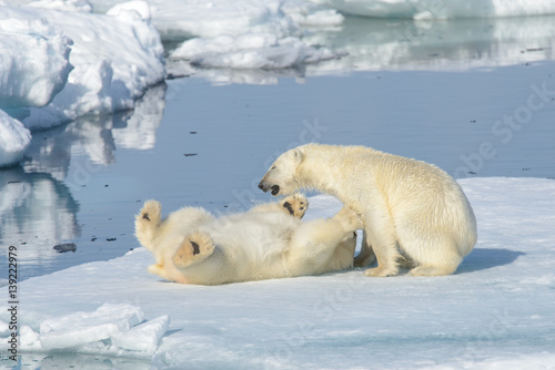 Foto op Aluminium Ijsbeer Two polar bear cubs playing together on the ice