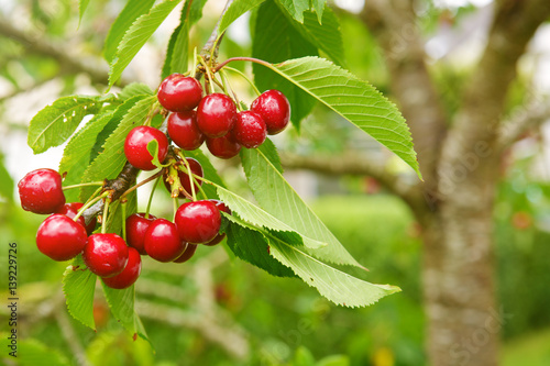 Cherries hanging on a cherry tree branch. Fototapete