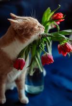 Fluffy Cat Tastes Leaves Of Tulips
