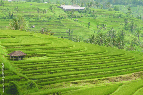 Poster Rijstvelden Green rice field hill with a small brown cottage at midday in Bali, Indonesia