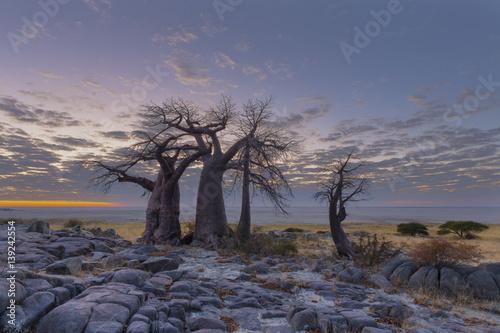 In de dag Baobab Baobab's just before sunrise