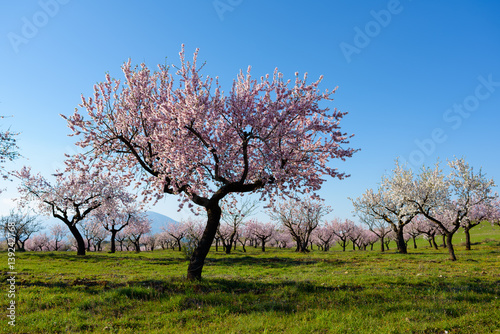 Valokuva  Field with almond blossoms in Almeria, Spain