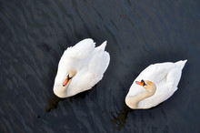 Two White Swans Swim On The Black Water.