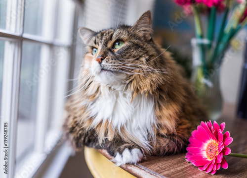 Closeup Portrait Of Calico Maine Coon Cat Lying On Table Looking
