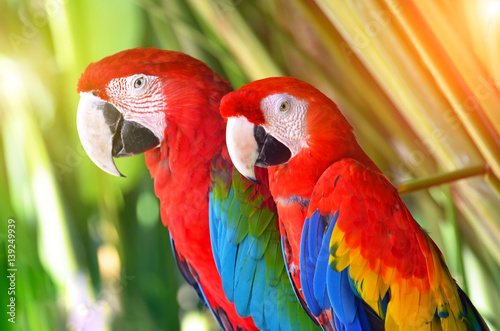 Photo  Two parrots red in tropical forest birds