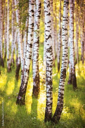 lato-w-slonecznym-lesie-brzozowym