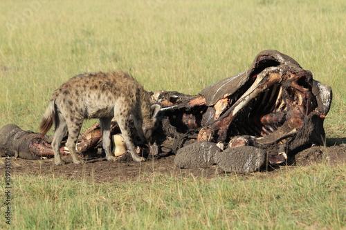 In de dag Hyena Hyena eating elephant corpse in Kenya