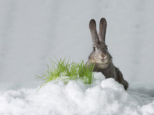 Rabbit In The Snow.Hare In Winter, Snow On The Grass