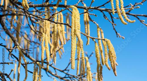 Hazelnut catkins against blue sky