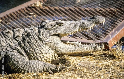 Poster  Crocodile, Namibia