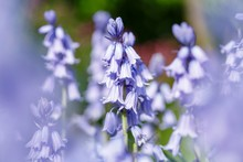 Bluebell Flowers Closeup