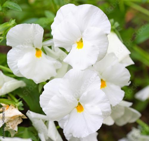 Papiers peints Pansies White pansies in the garden