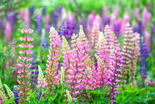 Flowers Lupins In The Field
