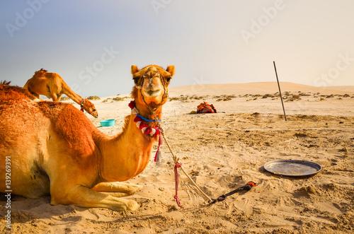 Keuken foto achterwand Kameel Funny camel lying in the desert looking into the camera