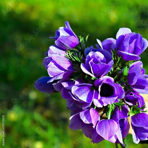 Fiori Color Viola.Mazzo Di Fiori Di Anemone Di Colore Viola Buy This Stock Photo