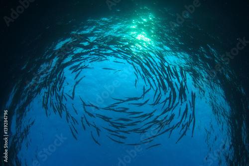 Papiers peints Recifs coralliens Barracuda fish underwater in ocean