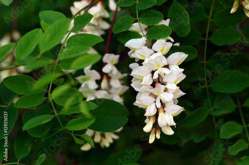 Acacia flower close-up (Robinia pseudoacacia). Acacia tree bloom. Canvas Print