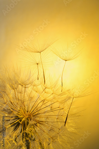 dandelion on a yellow background #139324146