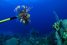 This Invasive Red Lionfish Has Been Captured By A Scuba Diver Who Wants To Remove The Harmful Creature From The Reef To Prevent Further Damage To The Complexe Ecosystem On The Caribbean Reefs