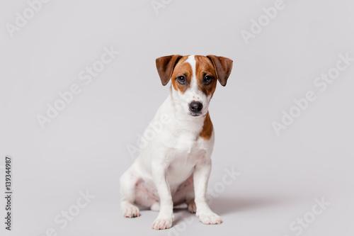 Fotografie, Obraz  cute jack russel terrier sitting in front of wonderful white background