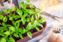 Plastic Container Of Pepper Seedlings Plants Closeup Shot